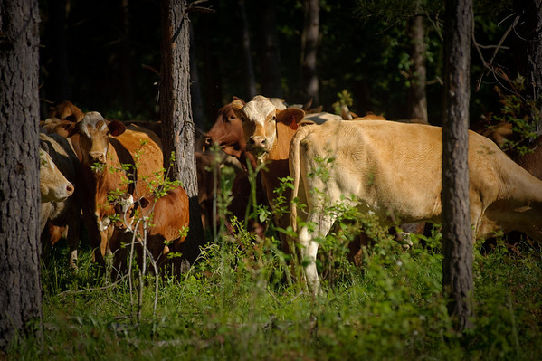 Cattle grazing in a silvopasture.