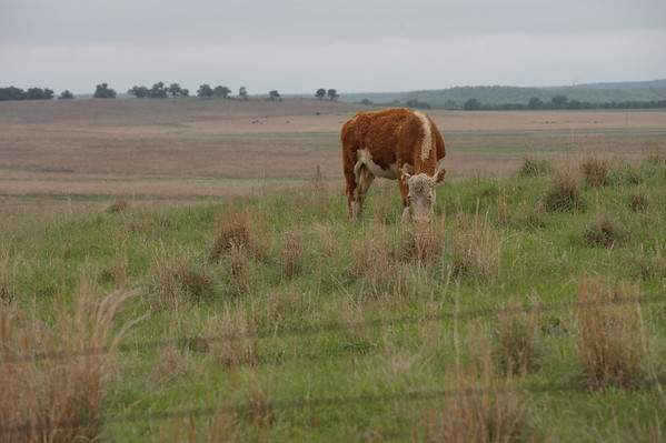A cow in the tall grass prairie in Montague County.