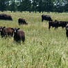 Cow calf pairs graze summer forages in Anderson County, Texas. NRCS photo by Beverly Moseley.