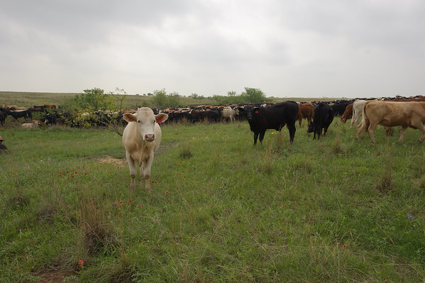 Cattle on the Birdwell Clark Ranch in Henrietta, Texas.
