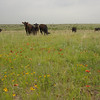 Cattle on pastureland at the Birdwell Clark Ranch in Henrietta, Texas.