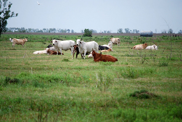Cattle graze in Chambers County, Texas. NRCS photo by Beverly Moseley.