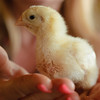 Baby chickens in a grower/broiler house.