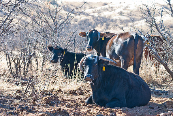 Ranch Cattle