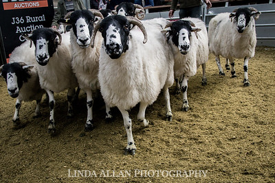 Rough Fell Ewe Sale 2018