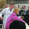 BELTED GALLOWAYS Castle Douglas 261012<br /> SHOW JUDGE Jane S. Smith of Usk gets to grips with one of the Cairnsmore entries Photographer: Niall Robertson.
