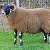 LANARK BLACKIES Loughash sold this ram lamb for £28,000