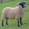 LANARK BLACKIES Elmscleugh sold their ram lamb for £24,000