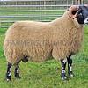 LANARK BLACKIES Blackhouse sold this ram lamb for £26,000
