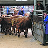 SUCKLED CALVES St Boswells 311012<br /> ANOTHER CONSIGNMENT heads to the ring Photographer: Niall Robertson.