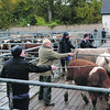 SUCKLED CALVES St Boswells 311012<br /> FINAL SELECTION before heading to the sale ring Photographer: Niall Robertson.