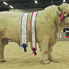"Aberdeen Christmas Classic 13  Overall pedigree bull champion and Charolais champion ""Ugie Hallmark"" from Colin Stuart, Belnoe, Braes of Glenlivet, Ballindalloch."
