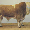 "Aberdeen Christmas Classic 13 Overall Simmental Champion Bull ""Corskie Duke"" from J. Green, Corskie, Garmouth."