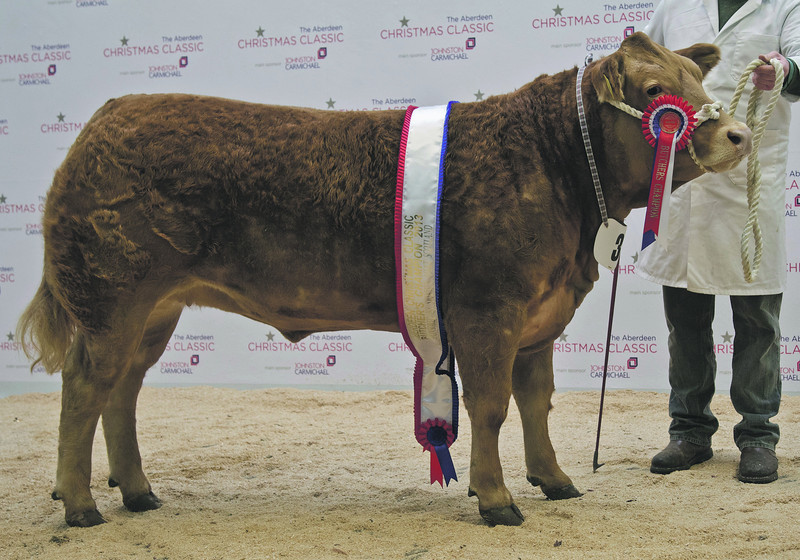 Aberdeen Christmas Classic 2013 Butchers Heifer and Overall Champion a Limousin Heifer from G & D Anderson, Brucewells, Netherley, Stonehaven.