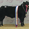 "Aberdeen Christmas Classic 13 Unhaltered Butchers Champion ""Jinky"" from Blair Duffton, Bogie Street, Huntly."