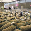 Bakewell Christmas primestock show and sale, December 2013