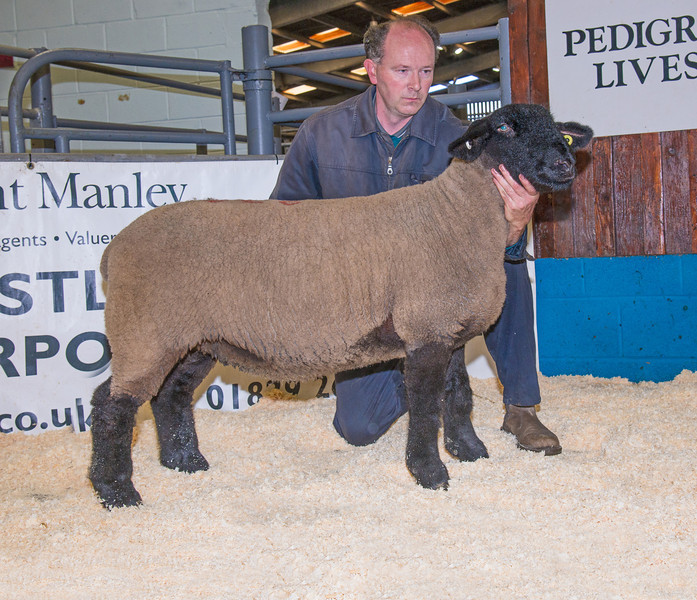 The ewe lamb champion from Mark Evans of Steeton, Keighley, West Yorkshire sold for 800 gns.