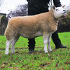 The Christmas Stars Sale's second top price at 6.500 gns from Robert Cockburn of Crieff, Perthshire.