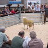Lot 78. Shearling ram Stainton Tonto from P. K. Woof selling for 950 gns.