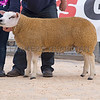 The reserve champion, ram lamb Procters Ultilise from Procters Farms, Slaidburn, Clitheroe, Lancashire.