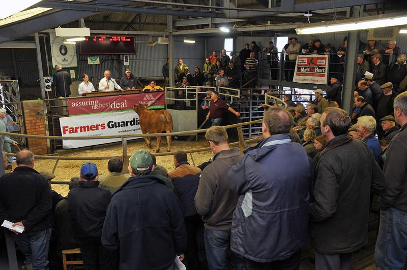 Herefords Sale hereford 12.10.13