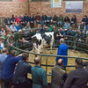 A cow selling for £2220.