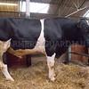 Holstein stock bull Nerewater Ben Original.
