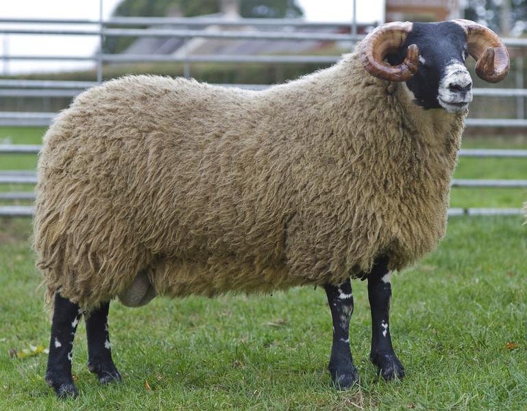 Lanark Oct Blackface Ram Lambs Lot 296 W. Dunlop, ELMSCLEUGH sold for £68,000. Blackface sheep sale at Lanark October 2013. Supported by Mart's The Heart