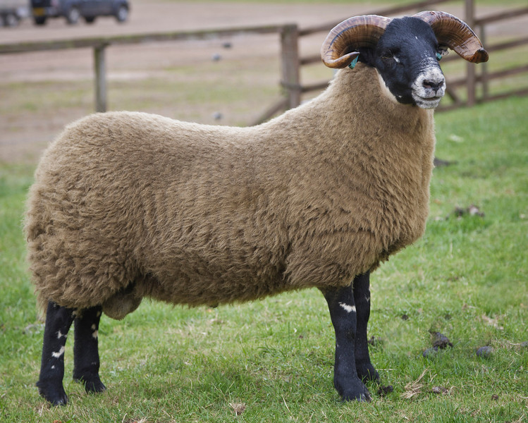 Lanark Oct Blackface Ram Lambs Lot 35 J.Wight & Sons, MIDLOCK sold for £19,000. Blackface sheep sale at Lanark October 2013. Supported by Mart's The Heart