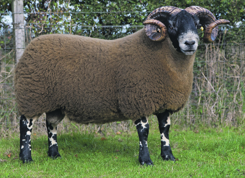 Lanark Oct Blackface Rams Lot / Horn Number 154 The Dudlees Sold £12.000 Blackface sheep sale at Lanark October 2013. Supported by Mart's The Heart