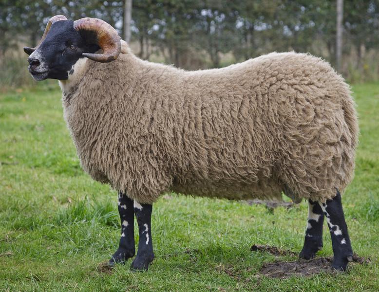 Lanark Oct Blackface Ram Lambs Lot 64 J& C Harkin,LOUGHASH sold for £17,000. Blackface sheep sale at Lanark October 2013. Supported by Mart's The Heart