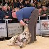 David Bland hand shearing.