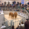 Two heifers from M. and S. Lloyd Jones of Chwilog, Pwllheli, Gwynedd selling for 2,100 gns each in the Red Ladies sale.