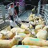 Loading sheep.