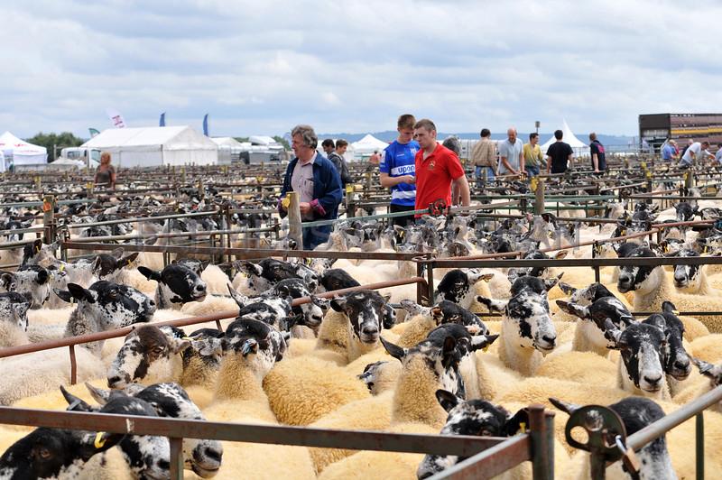 Thame Sheep fair 2013