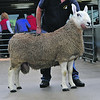 Border leics champion Lot 1131 Shearling  From <br /> R & J Phillips  Broomsgrove
