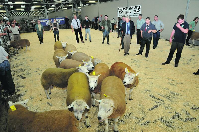 Welshpool Multi-breed sheep sale 3/10/13