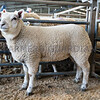 Overall prime lamb champion a Texel cross weighing 39kg from R Swift and Sons.