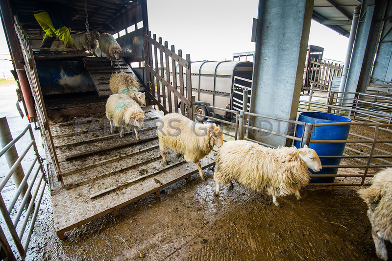 Unloading sheep.