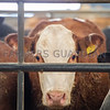 Store Cattle in pens
