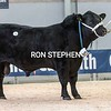 """Stirling Bulls Feb 2021 AA Lot 53 """" Duncanziemere Jetstream""""<br /> from A, Clark & Sons, Avisyard Farm,Glenmuir, Cumnock.<br /> Sold for 12,000gns"""