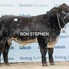 """Stirling Bulls Oct 2021Shorthorn top price @ 27,000gns<br /> """" Meonside Nidavellir"""" from D&T Bradley Farmer, Wester Parkgate Farm, Parkgate, Dumfries."""