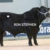 """Stirling Bulls Feb 2021 AA Lot 41 """"Stouphill Major Primus"""" fromWilliam D Allen, Hunbleheugh, Alnwick.<br /> Sold for 10,500 gns"""