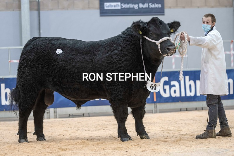"""Stirling Bulls Feb 2021 AA Lot 60 """"Galcantray Jedi Eric""""  sold for<br /> 15,000 gns from David Walker,Galcantray Farm, Cawdor Nairn."""