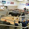 Richard Furnival selling OTM cattle at Brock Auction mart.