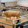 otm cattle going through the ring at Brock auction mart.