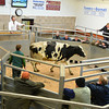 Richard Furnival selling OTM cattle at Brock Auction mart.