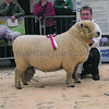 The Ryeland male champion, shearling ram Landriggs Tamnavulin from E. and J. Henderson of East Netherton, Milnathort, Kinross.