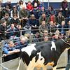 Carlisle Dairy Bulls 5490