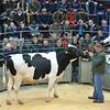 Carlisle Dairy Bulls 5496